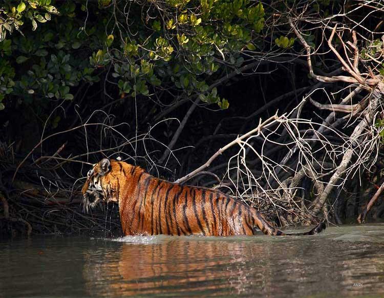 Royal Bengal Tiger