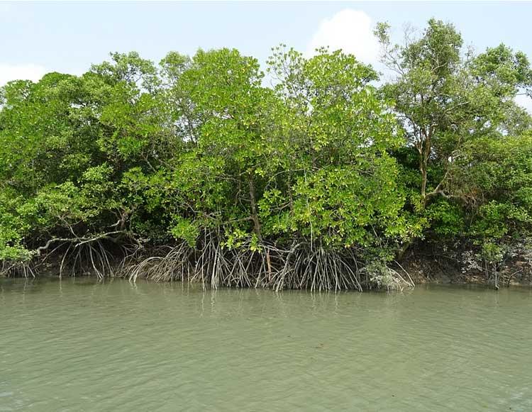 Mangrove of Sundarban